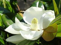泰山木の花を探して、伊丹市荒牧と隣接する宝塚市を回りました その5。