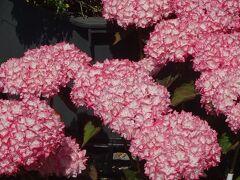 泰山木の花を探して、伊丹市荒牧と隣接する宝塚市を回りました その6。