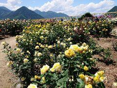 さかき千曲川バラ公園の満開のバラと、坂城名物おしぼりうどん