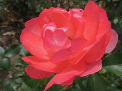 2021春、鶴舞公園のバラ(3/10):5月26日(3):ルイの涙、プリンセス・ドゥ・モナコ、ティップン・トップ