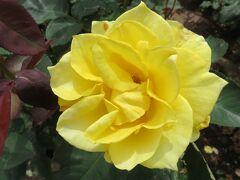 2021春、鶴舞公園のバラ(5/10):5月26日(5):インカ、ラブ、ウェディング・ブーケ、ローラ、マルコポーロ