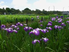 「つつじが岡第二公園」のハナショウブ_2021_咲き始めました。(群馬県・館林市)