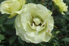 2021春、鶴舞公園のバラ(7/10):5月26日(7):エクセルサ、ノスタルジー、エル、朝雲、緑光、パスカリ