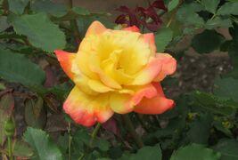 2021春、鶴舞公園のバラ(9/10):5月26日(9):ピース、ブラック・ゴールド、リオサンバ、バタースコッチ