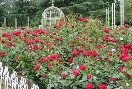 2021春、鶴舞公園のバラ(10/10):5月26日(10):花菖蒲、西洋アジサイ、ガクアジサイ、カルガモ