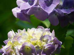 20210608-2 京都 梅雨時の京都府立植物園、其の二は紫陽花