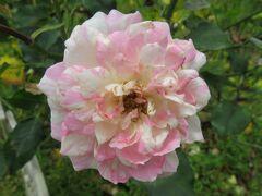 2021初夏、庄内緑地公園のバラ(3/10):6月6日(3):ニューサ、マルコポーロ、パスカリ、ビュルカプリス