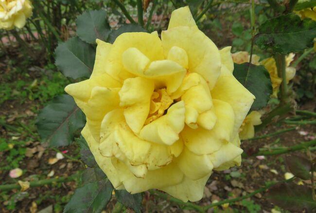 2021初夏、庄内緑地公園のバラ(2/10):6月6日(2):マチルダ、ブライダル・ホワイト、ゴールド・ハニー
