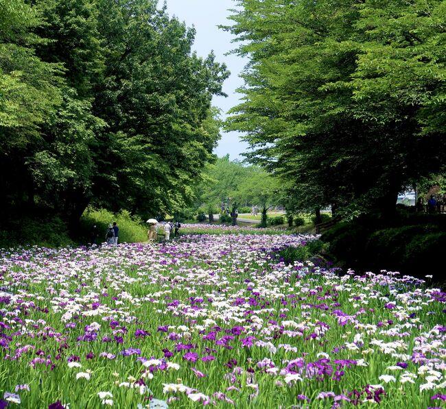赤城のレンゲツツジに<br />赤堀の花菖蒲園!<br />紫陽花もちらほら咲き始め………<br /><br />暑ーーーい!!!<br /><br />いきなりの30℃越えと暑さに<br />夏花を愛す…………<br />アイス…………!<br /><br />ひんやりアイスでライフ回復♪