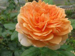 2021初夏、庄内緑地公園のバラ(4/10):6月6日(4):マダム・フィガロ、ミルフィーユ、レジス・マルコン