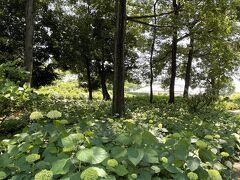 緑の森の緑の紫陽花達、前橋荻窪公園~