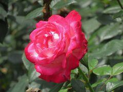2021初夏、庄内緑地公園のバラ(6/10):6月6日(6):緑光、マリア・カラス、メルヘンツァウバー、パスカリ、聖火
