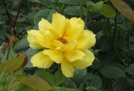 2021初夏、庄内緑地公園のバラ(7/10):6月6日(7):ローズ・ゴジャール、ギー・サヴォア、フラゴナール、天津乙女