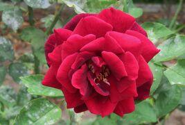 2021初夏、庄内緑地公園のバラ(8/10):6月6日(8):正雪、ノヴァーリス、ロイヤル・プリンセス、マイナーフェアー