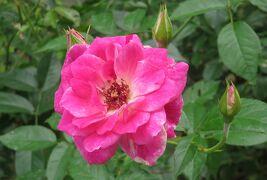 2021初夏、庄内緑地公園のバラ(9/10):6月6日(9):ブラスバンド、プリンス・ドゥ・モナコ、ローズ・ゴジャール
