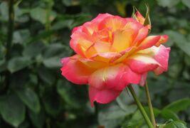 2021初夏、庄内緑地公園のバラ(10/10):6月6日(10):パスカリ、ラヴ、朝雲、ラ・パリジェンヌ、サントノーレ