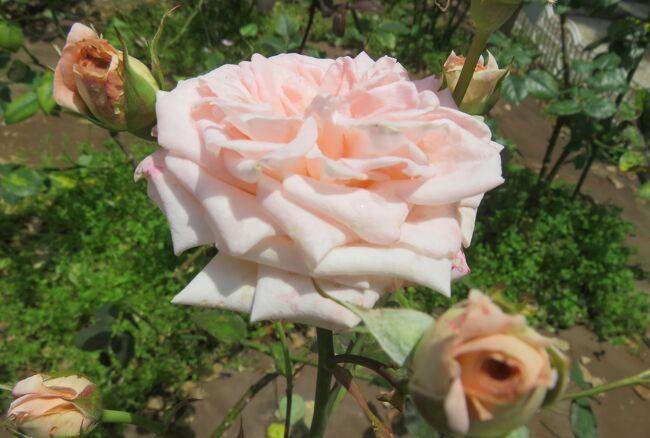 2021初夏、庄内緑地公園のバラ(5/10):6月6日(5):ダイアナ・プリンセス、ニューサ、ホワイトクリスマス