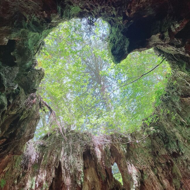 屋久島到着2日目。<br />今日は、縄文杉トレッキングの足慣らしとして白谷雲水峡へトレッキングです。<br />と、その前に今回の屋久島旅行をどのように計画したかを少しお話しします。<br />☆やりたいこと<br />・縄文杉が見たい<br />・もののけの森が見たい<br />・せっかくなので島内観光したい<br />・トビウオの唐揚げを食べたい<br />★気になったこと<br />・何はともあれ天気<br />・縄文杉まで歩けるか(距離が長い)<br />・宮之浦地区と安房地区のどちらに泊まるか<br />・島内の移動手段(バスorレンタカー)<br />今回の屋久島旅行にあたって、一番気にしたのは雨でした。<br />トレッキングが目的でしたので、雨で歩けなくなることを心配しました。<br />幸いなことに休みに余裕があったので、ぎりぎりまで天気予報を見ながら出発日を決めることができました。二週間くらい前から天気予報を見ていましたが、曇りか雨の予報で変わることはありませんでした。過去何年間かの天気予報を見ていると、梅雨の晴れ間があり、これに期待しました。一週間くらい前になると、晴れマークが出るようになり、イチかバチかで今回の日程を組み、その後一気に航空券、高速船、宿泊場所、レンタカーの予約をしました。<br />当初、縄文杉と白谷雲水峡を一日で走破しようと考えましたが、登山口がそれぞれ宮之浦地区と安房地区に分かれてしまい、バスの乗り継ぎなどを考え初めに白谷雲水峡、一日空けて縄文杉へ行く計画にしました。中日はレンタカーで島内一周することにしました。<br />屋久島4泊5日の滞在で、初日と最終日は移動日でしたが中3日間まるまるトレッキングと島内観光に充てることができました。<br />よくツアーだと縄文杉の後に白谷雲水峡へ行くことが多いですが、あえて白谷雲水峡から周ることにしました。<br /><br />さて、屋久島2日目は白谷雲水峡へ行ってきます。<br />天気も曇りですが、雨の予報はありません。