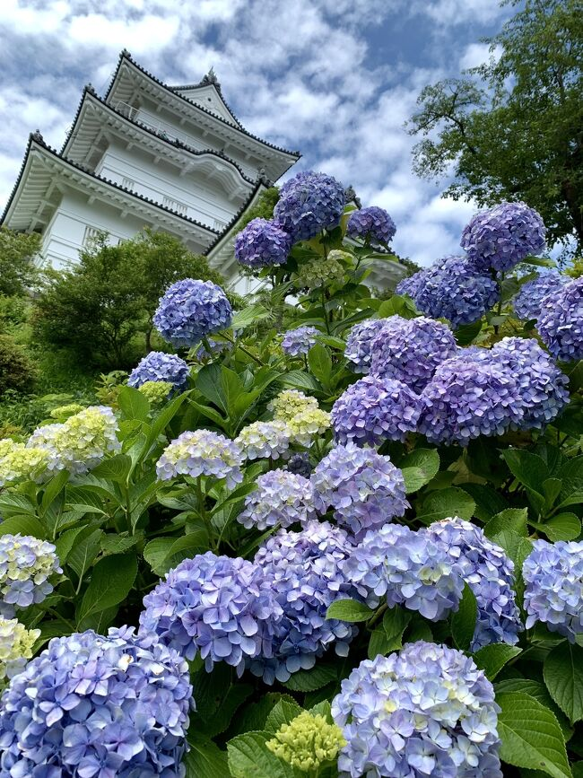 と、いう事で6月12日に小田原城の紫陽花を見に行って来ました。。<br />朝、思い立って相方に小田原城の紫陽花が綺麗だから行ってみない?<br />って聞いたら。。電車が空いていて密にならなければ良いんじゃん!!<br />って事で色々電車を調べて、新宿からのロマンスカーが指定席で結構ガラガラなので小田急で行く事にしました。。<br />電車内でおにぎりのブランチを済ませて(^^;<br />現地ではお昼も取らずに紫陽花を目一杯観賞して帰りは小田原から快速のグリーンとほぼ金額が一緒の踊り子のチケットレスで東京駅へ。。<br />帰りの踊り子もガラガラ・・でも小田原から先行した快速のグリーンは<br />混んでいました(&gt;.&lt;)踊り子のチケットレスと金額変わらないのになぁ~<br />そして東京駅では最近ハマっている崎陽軒のお弁当を買って早めの帰宅でした(笑)<br /><br />今回は本当に紫陽花&紫陽花&菖蒲。。たまにプリン(笑)ばかりなので、流して見て頂いて結構です(;^ω^)<br />最後までお付き合いください。。