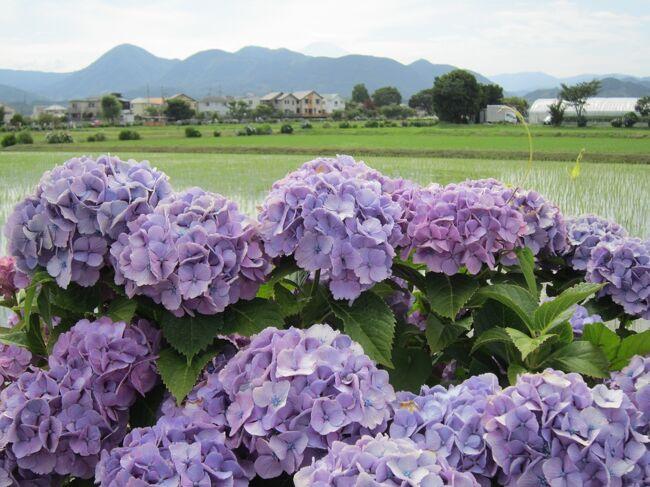 神奈川県開成町の「あじさいの里」を観にGO!
