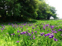 「あずま水生植物公園」のハナショウブ_2021_開花進んでますが、花が少ない(群馬県・伊勢崎市)