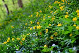 ◆絶滅危惧種のヤマブキソウが咲き乱れる白河天狗山