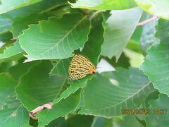 2021森のさんぽ道で見られた蝶(25)ウラナミアカシジミ、アカシジミ、ツバメシジミ、テングチョウ等