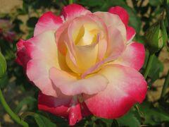 2021初夏、東山植物園のバラ(2/8):6月9日(2):ラ・セビリアーナ、ホワイトクリスマス、ダブル・デライト