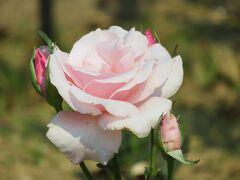 2021初夏、東山植物園のバラ(3/8):6月9日(3):ブルー・パヒューム、フリージア、オーギュスト・ルノアール、春芳