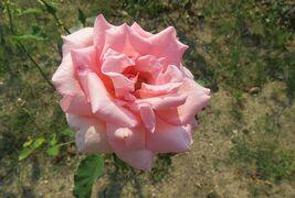 2021初夏、東山植物園のバラ(5/8):6月9日(5):イブ・ピアッチェ、ゴールドバニー、はまみらい、ビクトル・ユーゴ、