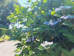 梅雨時、千葉県佐倉市内で紫陽花見物をしよう