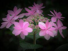 紫陽花の本土寺