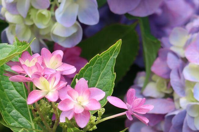 シズクちゃんの紫陽花巡り
