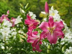 ユリの香りに包まれる 日比谷公園 & バラの2番花が咲く 旧古河庭園