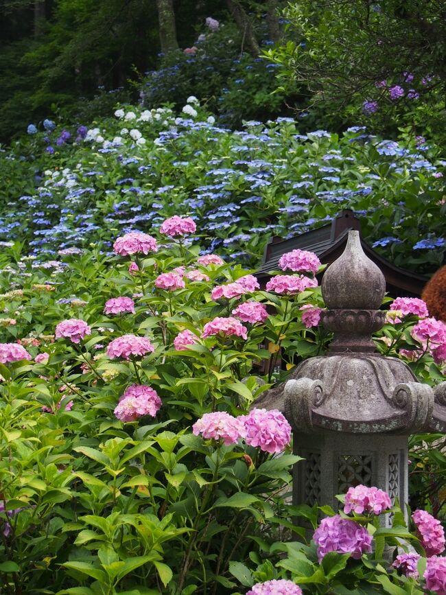 丹州観音寺は「丹波あじさい寺」とも呼ばれ、あじさいスポットとして知られています。関西花の寺第一番札所に指定されており、100種1万株のあじさいが咲き誇る様は花浄土と称されます。