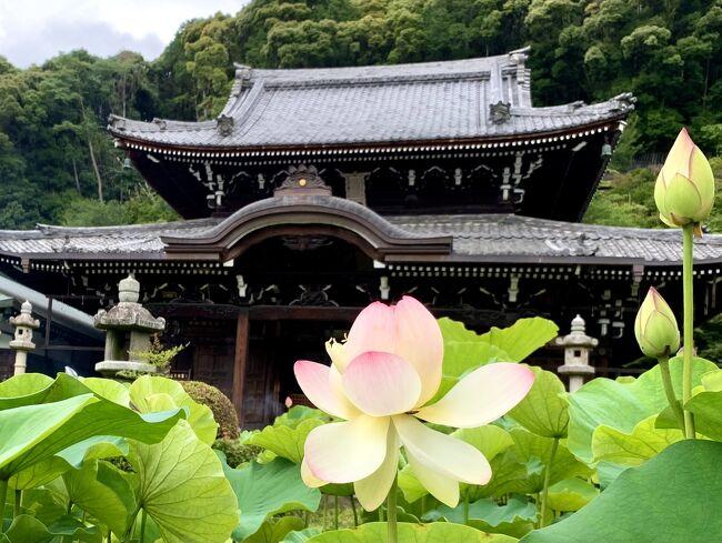 7月2日から4日までの二泊三日で梅雨時期の京都へ行って来ました。。<br />桜の時期と紅葉の時期、メチャメチャ暑い夏の時期には行っているのですが、梅雨の時期の見所は紫陽花となんだろう?と思いたって出かけました!<br />そんなこんんなで梅雨時期の京都のあちこちを巡って来ました!!<br />梅雨時期の素敵な京都のご案内になれば良いなと思います(;^ω^)<br /><br />2日目は初日の雨模様から一転して朝から良い天気になりました。<br />今回の宿泊は朝食無しにしたのでコンビニのおにぎりを食べて出発!!<br />朝食を無しにした理由は、旅費の節約と大事なもう一つの理由が(^O^)<br />それは。。トラベラーたらよろさんから教えて頂いた伊藤軒の美味しいパフェ<br />10:00~11:00と限定時間に頂く為なのです!!<br />美味しいパフェを頂いた後はテクテク藤森神社へ。。紫陽花と参拝後は<br />京阪線の墨染駅から三室戸寺へ。。2日目の午前はここまでですが、<br />2日目午後は更に宇治へ移動して美味しいランチを頂いて、<br />この時期ならではの修学旅行生とバッティングした賑やかな平等院へ。。<br />平等院から祇園四条へ戻って先斗町の納涼床で美味しいウマウマな夕食を頂きました♪<br /><br />先ずは2日目の午前になります。。2日目も写真が多いのですが、<br />最後までお付き合い頂きご覧下さい。<br />