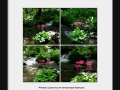 ◆青葉若葉の裏磐梯・湖水&花紀行(二つ目沼、三つ目沼、細野、檜原湖、清水沢)