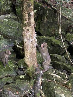 屋久島だけ晴れまくりの4日間 (4) - 島内一周して念願のヤクザルに