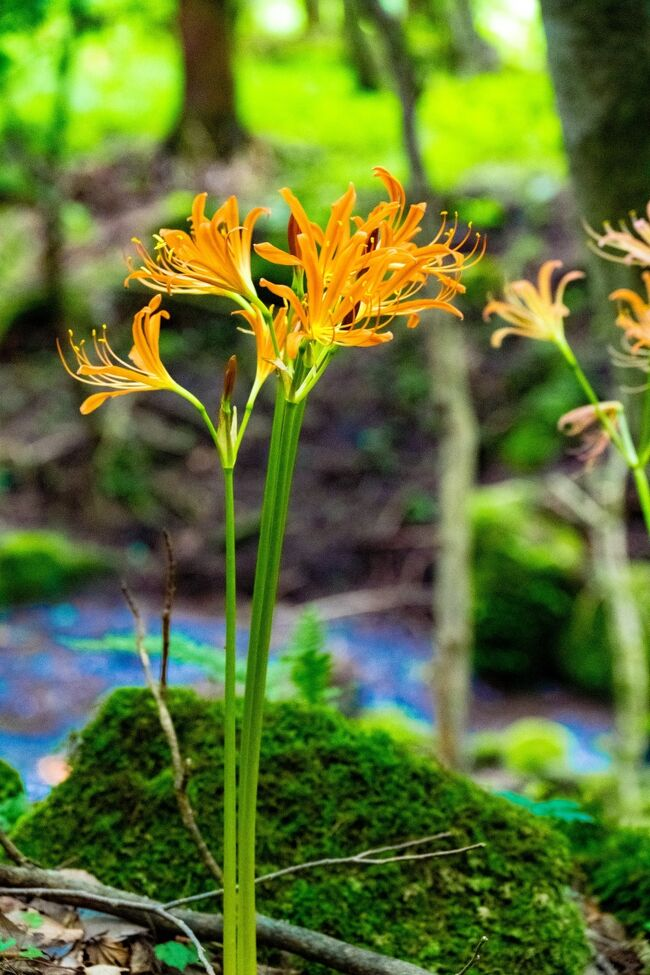 奥別府城島高原の一角、胃の瀬戸湿原にキツネノカミソリの群生地があります。<br /> 小川が流れる静かな森でキツネノカミソリが涼しげに咲いていました。