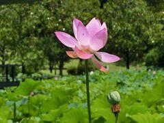 真夏日の大阪万博記念公園 自然文化園・平和のバラ園で「睡蓮」を、日本庭園・はす池で「ハス」を楽しむ。(2021)