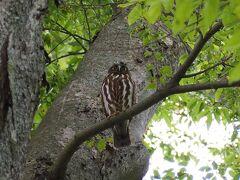 野木神社のフクロウには会えなかったけど、雀神社でアオバズクに会えました