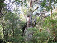 屋久島 縄文杉_Jomon Sugi 縄文時代へのロマン!屋久杉を代表する古木へのトレッキング