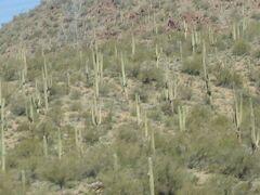 アリゾナ州 野生のサボテン林の見えるジョシュア ツリー フォレスト パークウェイ