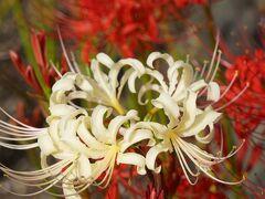 20210921-3 京都 法住寺の萩と彼岸花と