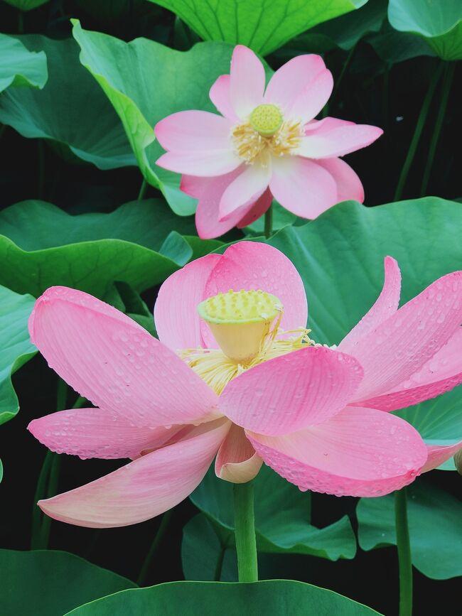 千葉市観光ガイドより<br />大賀ハスとは・・・<br />「千葉市で発見された世界最古の花として<br />千葉県の天然記念物および、<br />千葉市の市花に制定されています。<br />発掘された古代ハスの実3個のうち<br />1個だけが成長し、この蓮根が<br />検見川農場・千葉公園・千葉県農業試験場<br />の3つに分けられました。<br />なんとこの実は約2000年前(縄文時代)<br />のものと鑑定」とのこと。<br />令和3年は<br />期間:6月12日~7月4日<br />時間:午前6時~<br />開花日によって全開時間が違うよう。<br />今年は9時半頃に行ったので<br />結構咲いてました。<br />開花状況として記録。<br />https://www.instagram.com/p/CQUp8ilBW8S/?utm_medium=copy_link