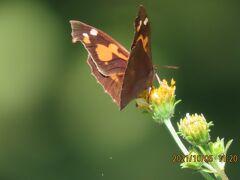 2021森のさんぽ道で見られた蝶(45)その①テングチョウ・・コセンダングサに留まっている