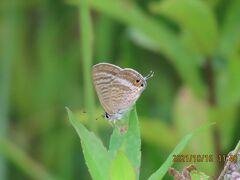 2021森のさんぽ道で見られた蝶(46)キアゲハ、ツマグロヒョウモン、ウラナミシジミ、キチョウ、モンシロチョウ他
