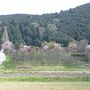 御形神社の正福寺桜