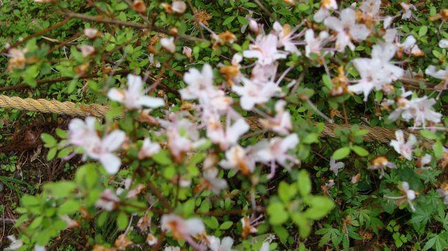 天城グリーンガーデンの石楠花