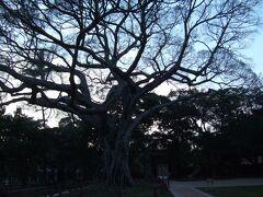 孔子廟にある大榕樹